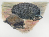 Close-Up of a Short-Beaked Echidna with its Young (Tachyglossus Aculeatus)
