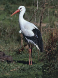 Close-Up of a White Stork (Ciconia Ciconia)