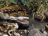 Two Frogs and Salamander by Water  Illustration