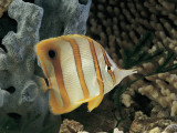 Close-Up of a Copperband Butterfly Fish Swimming Underwater (Chelmon Rostratus)