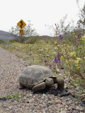 California  Death Valley  a Desert Tortoise Walks Along the Road Leading to Dante's View