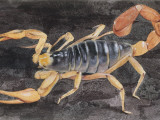 Scorpion (Scorpiones)  Illustration