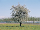 Apple Tree on a Landscape (Malus Pumila)