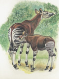 Close-Up of Okapi (Okapia Johnstoni)