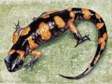 Close-Up of a Salamander (European Fire Salamander)