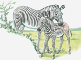 Close-Up of a Burchells Zebra with its Colt in a Field (Equus Burchelli)