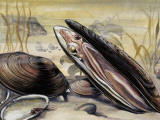 European Pearly Mussels in Water (Margaritifera Margaritifera)