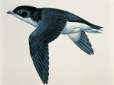 Close-Up of a Common Diving-Petrel Flying (Pelecanoides Urinatrix)