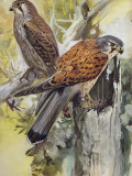 Two Common Kestrel Perching on a Tree Stump (Falco Tinnunculus)