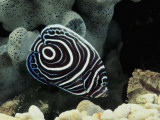 Close-Up of an Emperor Angelfish Swimming Underwater  (Pomacanthus Imperator)