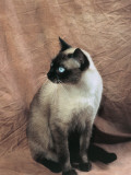 Close-Up of a Chocolate Point Siamese Cat