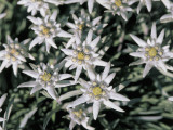 High Angle View of Edelweiss Flowers (Leontopodium Alpinum)