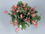 Close-Up of a Christmas Cactus Plant (Schlumbergera Russelliana)