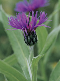 Close-Up of Perennial Cornflowers (Centaurea Montana)