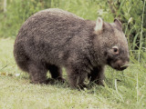Close-Up of a Common Wombat (Vombatus Ursinus)