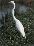 Close-Up of a Great White Egret Standing  Everglades National Park  Florida  Usa (Egretta Alba)