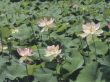 Close-Up of Sacred Lotuses (Nelumbo Nucifera)