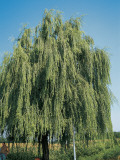 Weeping Willow Tree in a Field  Wisconsin  Usa (Salix Babylonica)