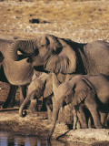 Herd of African Elephants Drinking Water  Etosha National Park  Namibia (Loxodonta Africana)