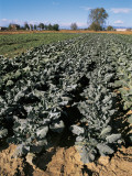High Angle View of Cabbage Plants in a Field (Brassica Oleracea)