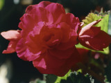 Close-Up of a Red Begonia Flower