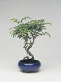 Close-Up of a Bonsai Ash Tree