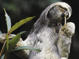Close-Up of a Brown-Throated Three-Toed Sloth Eating a Leaf (Bradypus Variegatus)