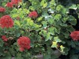 Close-Up of Horseshoe Geranium Plants (Pelargonium Zonale)