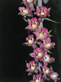 Close-Up of Royal Helleborine Flowers (Epipactis Atrorubens)
