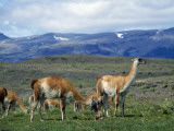 Mountain Landscape with Newborn Guanaco (Lama Guanicoe)  Torres Del Paine National Park  Patagonia