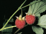 Close-Up of Raspberries (Rubus Idaeus)
