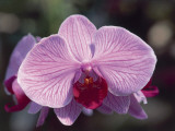 Close-Up of a Moth Orchid (Phalaenopsis)