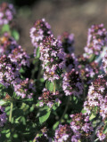 Close-Up of Creeping Thyme Flowers (Thymus Serphyllum)