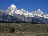 Mountain Landscape with Alert Pronghorn Antelope  Grand Teton National Park  Wyoming  Usa