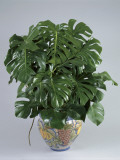 Split-Leaf Philodendron Growing in a Pot (Monstera Deliciosa)