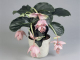 Close-Up of Showy Medinilla Flowers Growing in a Pot (Medinilla Magnifica)
