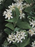 Close-Up of Winter Jasmine Flowers (Jasminum Polyanthum)
