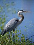Great Blue Heron (Ardea Herodias) Standing at Water's Edge  Florida  Usa