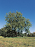 White Mulberry Tree in a Field (Morus Alba)