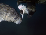 West Indian Manatee Swims Past Propeller