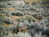 Mule Deer Surrounded by Sage Brush