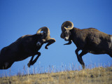 Rams Display Traditional Mating Season Behavior by Butting Heads