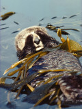Sea Otter Floats on Back While Wrapped in Kelp