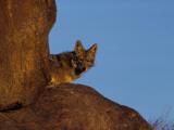 Coyote Peeks Out Between Two Rocks