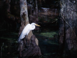 A Great Egret Standing on the Trunk of a Tree