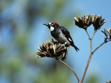 Acorn Woodpecker (Melanerpes Formicivorus) Perching on Branch  Arizona  Usa