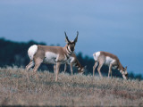 Pronghorn Antelope Acts as a Sentinel While Others Eat