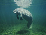 Manatee (Trichechus Manatus) or Sea Cow under Water