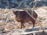 Collared Peccary/Javelina Stands in the Sand and Rocks