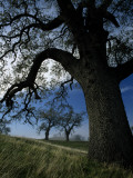 Oak Trees on a Hill  Mount Diablo State Park  California  Usa